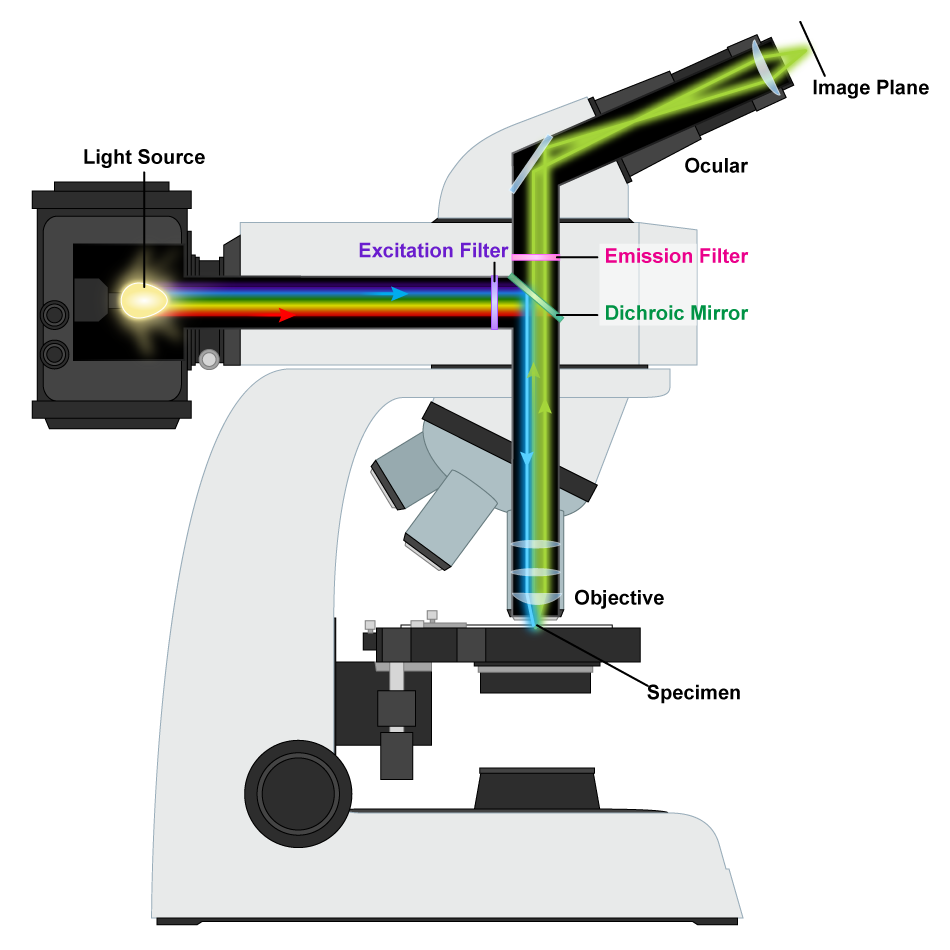 what does the diaphragm do on a microscope